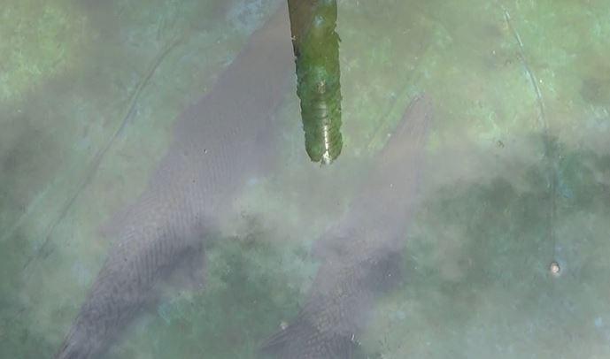 Ikan Aligator, Senin (6/1/2020) (Foto: iNews/ Juhpita)