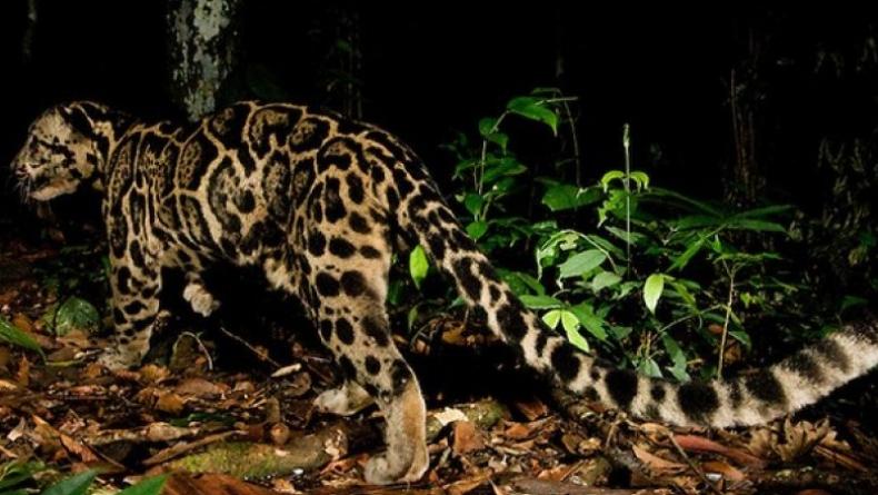 Macan Dahan (Foto: Antara)