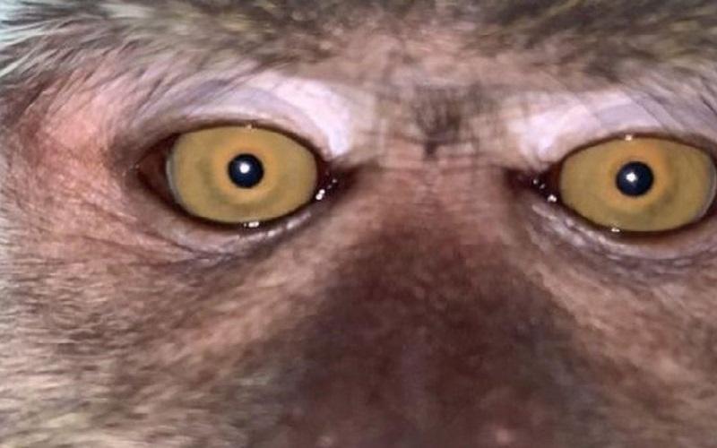 Salah satu foto selfie monyet yang ada di galeri foto handphone Zackrydz Rodzi yang sempat hilang. (foto: Zackrydz Rodzi)