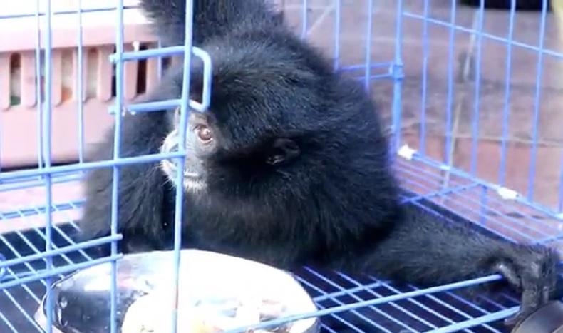Seekor owa siamang yang dikembalikan BKSDA Bali ke habitatnya di Sumatera Barat. (Foto: iNews/Bona Jaya)