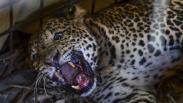 Macan Tutul Memangsa Ternak Ditangkap Warga Desa Cikupa Ciamis