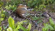 Tragis, Harimau Sumatera Ditemukan Mati akibat Racun di Perkebunan Aceh Selatan