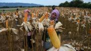 Panen Jagung Hibrida untuk Ketahanan Pangan di Tengah Pandemi Covid-19