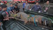 Evakuasi Buaya 3 Meter dari Rumah Warga Indramayu Berlangsung Menegangkan