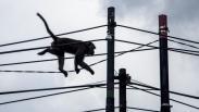 Kawanan Monyet Ekor Panjang Masuk Permukiman Warga di Bandung Barat