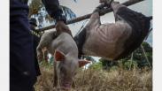 Belasan Peternakan Babi Ilegal di Kawasan Bandara Hang Nadim Batam Dibongkar