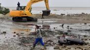 51 Paus Pilot Mati Terdampar di Bangkalan Dikubur Massal