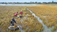 2.601 Hektare Tanaman Padi Gagal Panen akibat Banjir Kudus