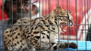 Kucing Hutan Diserahkan Warga ke BKSDA Aceh Utara
