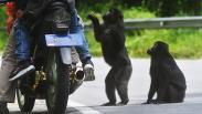 Perilaku Kera Hitam Sulawesi Berubah akibat Sering Diberi Makan Pengendara