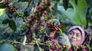 Melihat Panen Raya Kopi Arabika di Desa Cipada