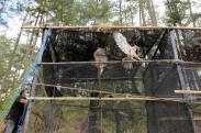 BKSDA Aceh Lepasliarkan Elang Brontok di Hutan Lindung Takengon