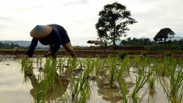 Kasus Benih Padi Tak Resmi di Aceh, Bibitnya Dinilai Tak Tahan Hama