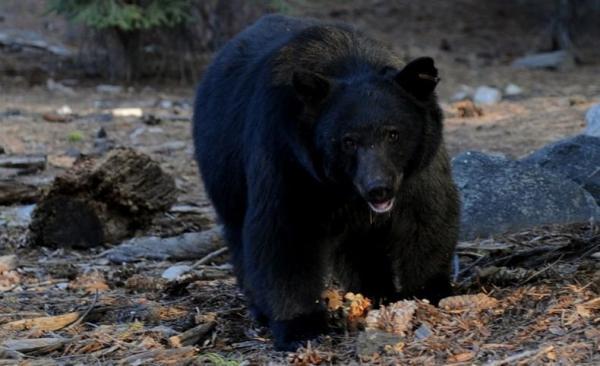 Nyaris Dimangsa Beruang, Pasutri Anton dan Nina 10 Hari Sembunyi di Pohon