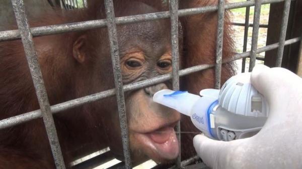 37 Orangutan Terserang ISPA Dirawat Intensif di Pusat Rehabilitasi Nyaru Menteng