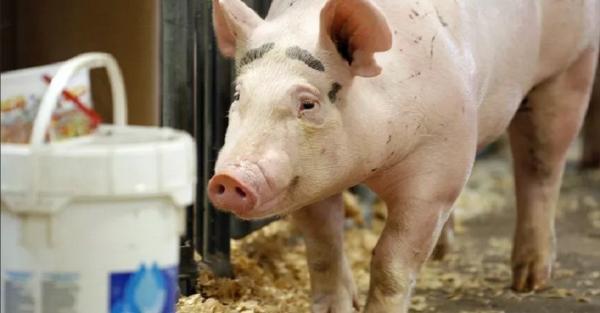 Bali Waspadai Masuknya Produk Berisiko Mengandung Virus Flu Babi