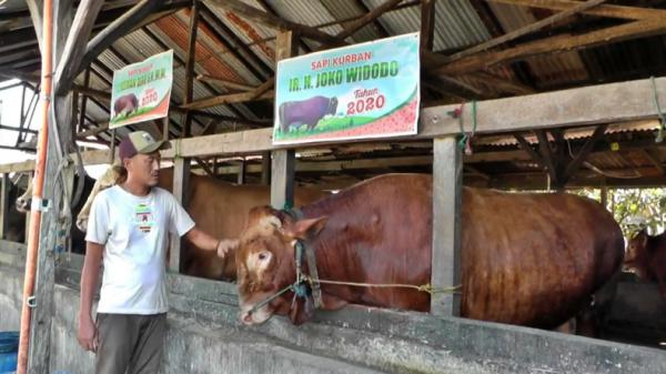 Presiden Jokowi Beli Sapi Limosin 1.193 Kg untuk Kurban di Masjid Agung Palembang