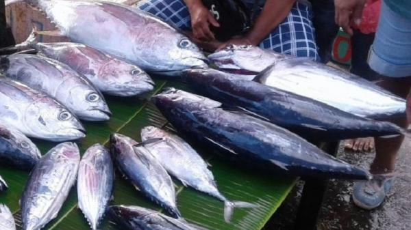 Cuaca Ekstrem, Harga Ikan Cakalang di Maluku Utara Meroket