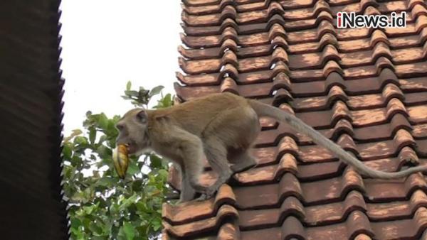 Video Monyet Liar Resahkan Warga Tangerang, Ganggu Ternak dan Rusak Tanaman