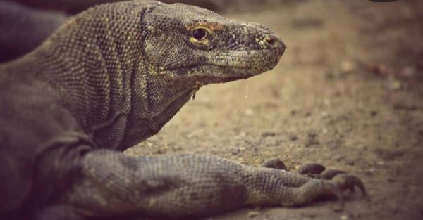 Penataan Kawasan Pulau Rinca Tetap Lindungi Habitat Komodo