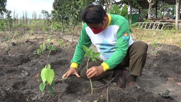 Petani di Bangka Tengah Beralih ke Tanaman Porang, Ini Alasannya