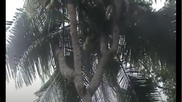 Pohon Kelapa Unik Bercabang 4 di Lampung, Dipercaya Bisa Bantu Dapat Keturunan