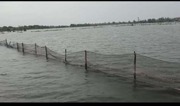 Ratusan Hektare Tambak di Pekalongan Terendam Banjir, Petani Rugi Puluhan Juta Rupiah