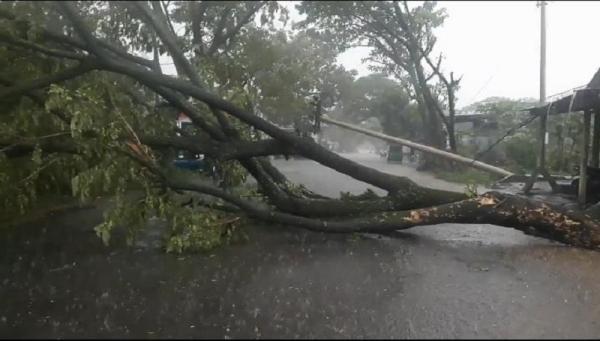 Diterjang Hujan Disertai Angin, Pohon Trambesi di Cianjur Tumbang dan Putuskan Kabel