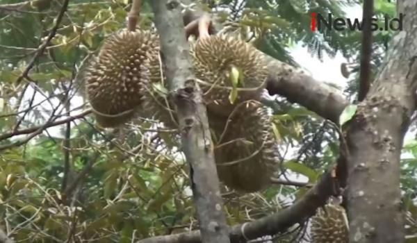 Menikmati Durian Bidadari Khas Lumbang Langsung dari Pohon
