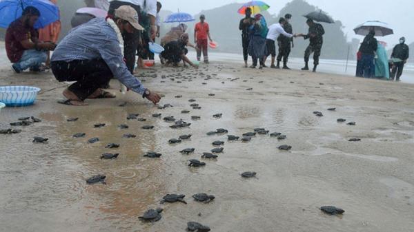 400 Ekor Anak Penyu Dilepas ke Kawasan Konservasi Pantai Lhoknga