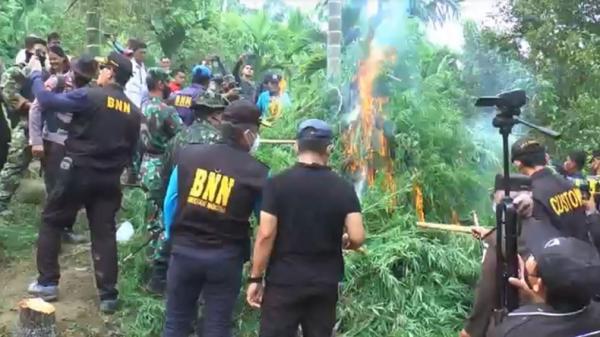 BNN dan TNI-Polri Musnahkan 3,5 Ha Ladang Ganja di Aceh Utara