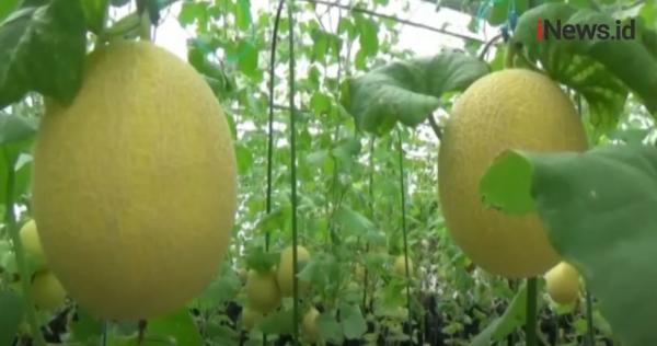 Video Melon Berharga Tinggi di Jember, Viral di Medsos