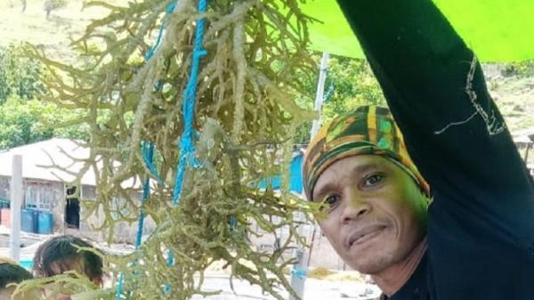 Petani Rumput Laut di Wilayah Terluar Maluku Menjerit Butuh Bantuan Modal Usaha
