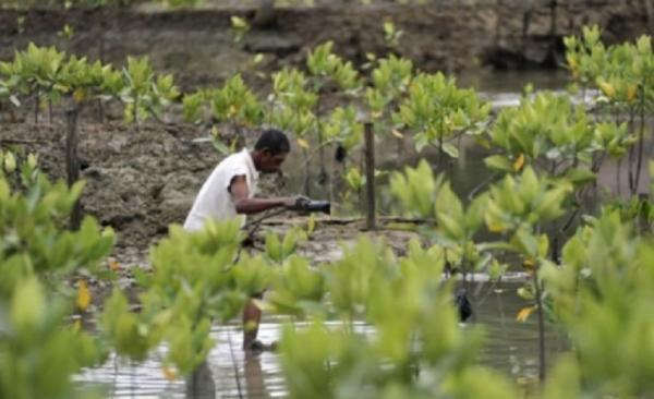 Pemerintah Akan Reboisasi 6.000 Hektare Hutan Bakau di Kalbar