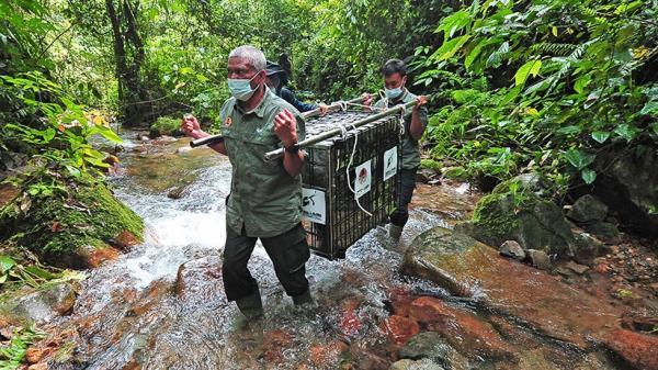 BKSDA Lepas Siamang dan Tapir ke Taman Nasional Kerinci Seblat