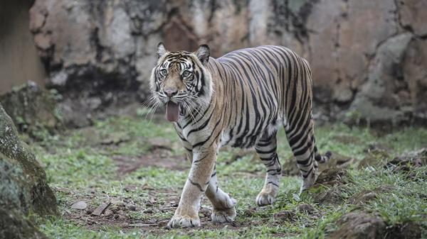 Harimau Sumatra Masuk Perkebunan di Aceh Selatan, Warga Panik