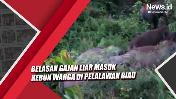 Video Viral Belasan Gajah Liar Masuk Kebun Warga di Pelalawan Riau