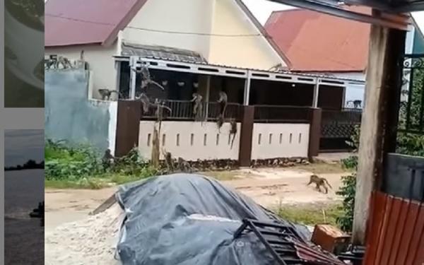 Puluhan Monyet Liar Serbu Permukiman Warga, Ini Penampakannya