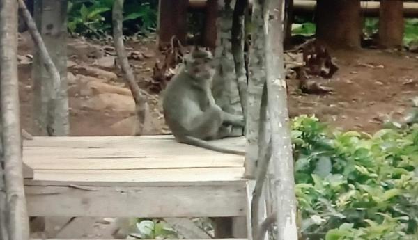 Lama Ditutup, Objek Wisata Citengah Sumedang Dikuasai Monyet Liar