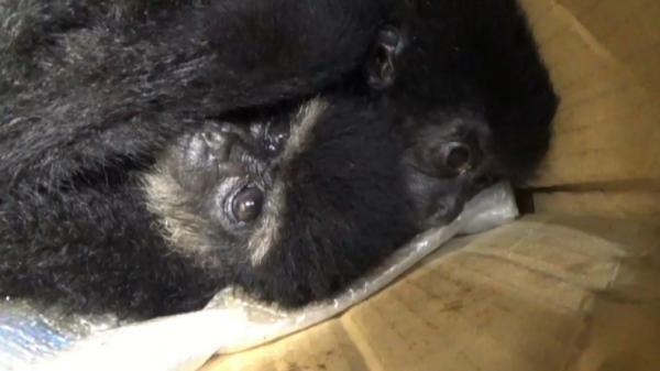 Polisi Gagalkan Penyelundupan Simpanse dan Burung Elang di Bakauheni