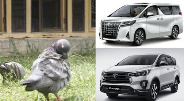 Wow, Burung Merpati Milik Warga Pekalongan Ini Seharga Alphard Baru Plus Innova