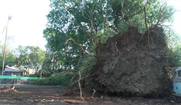 Angin Kencang Terjang Pantai Kartini Jepara, Sejumlah Pohon Besar Tumbang dan Kios Rusak