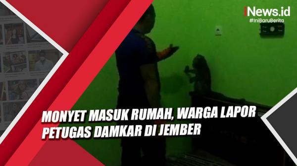 Video Monyet Masuk Rumah, Warga Lapor Petugas Damkar di Jember