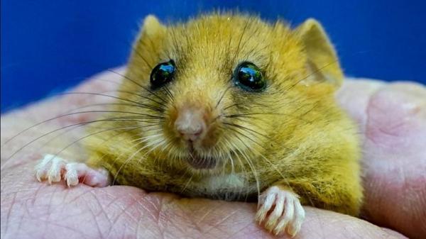 Hii, Mafia Narkoba Jadikan Tikus Makanan Favorit yang Disuguhkan kepada Rekan