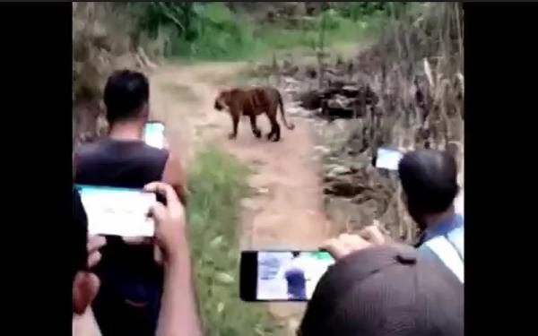 Video Viral Rombongan Warga Nekat Rekam Harimau dari Jarak Dekat