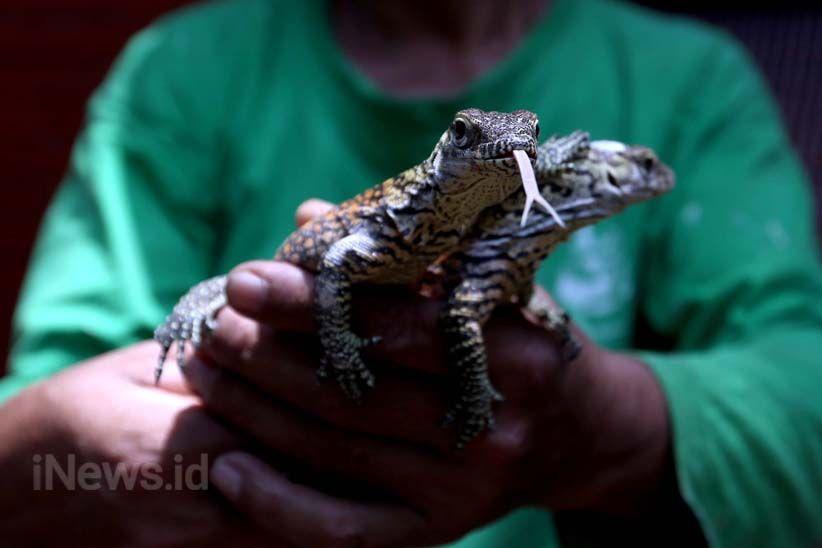 11 Anak Komodo Menambah Koleksi Kebun Binatang Surabaya