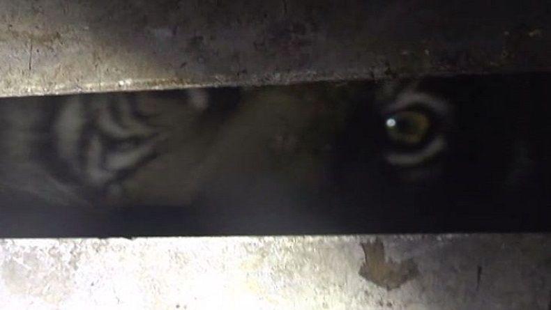 Serangan Harimau di Inhil Riau, Seorang Pekerja Asal Sambas Tewas