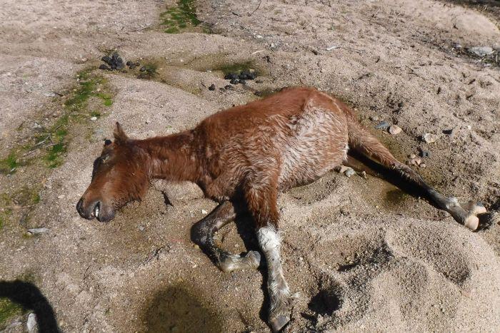 Kekeringan Parah, Puluhan Kuda Liar Mati di Taman Nasional Australia