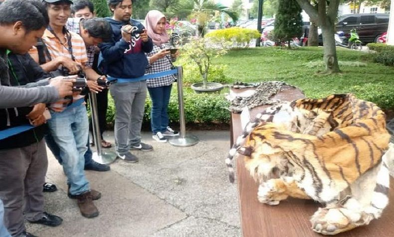 Kasus Perdagangan Kulit Harimau Sumatera Dibongkar Polisi di Langkat