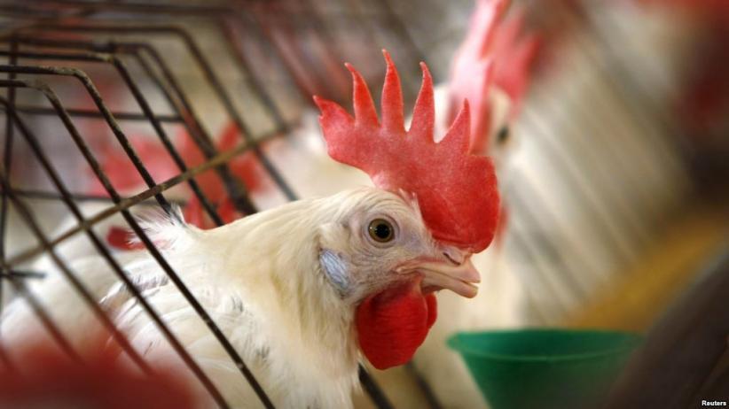 Singapura Jadi Negara Pertama di Dunia Jual Daging Ayam dari Hewan Tak Disembelih